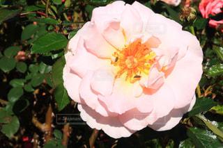 近くの花のアップの写真・画像素材[1617342]