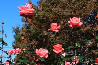 公園,紅葉,ピンク,観光地,デートスポット,薔薇,バラ園,お散歩,薔薇園,11月,埼玉県,フォトジェニック,さいたま市,秋薔薇,与野公園