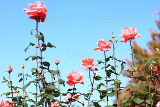 ピンクの花のグループの写真・画像素材[1617366]