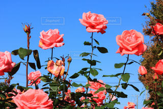 観光地,デートスポット,薔薇,バラ園,お散歩,薔薇園,11月,埼玉県,フォトジェニック,さいたま市,秋薔薇,与野公園
