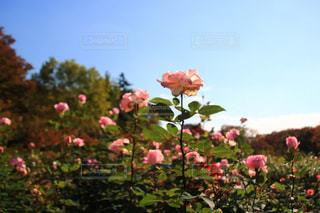 公園,観光地,デートスポット,薔薇,バラ園,お散歩,薔薇園,11月,埼玉県,フォトジェニック,さいたま市,秋薔薇