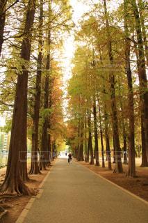 フォレスト内の並木道の写真・画像素材[1625807]
