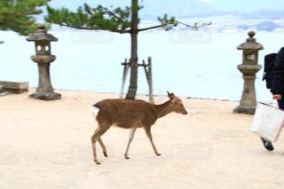 観光,旅行,鹿,広島,宮島,厳島神社,ホワイト,ホワイトカラーフォト