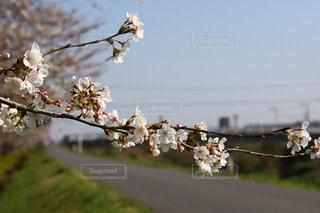 春,桜,ピンク,お花見,フォトジェニック,インスタ映え