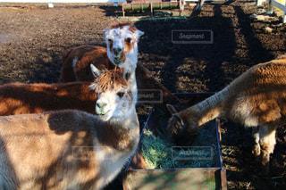 フェンスの横に立ってを羊のグループの写真・画像素材[1835217]