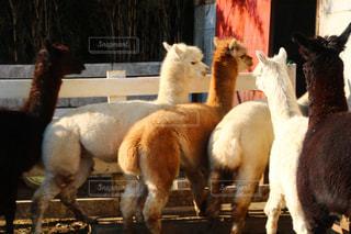 羊、リャマの上に立ってのグループの写真・画像素材[1835218]