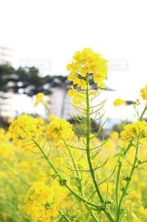 花,黄色,菜の花,イエロー,千葉県,房総半島,フォトジェニック,インスタ映え
