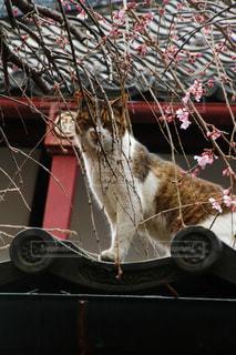 猫,桜,しだれ桜,お花見,フォトジェニック,インスタ映え,玉蔵院