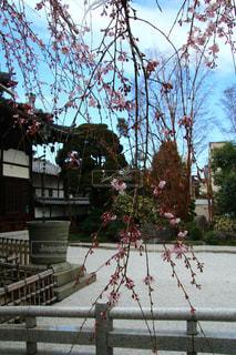 桜,しだれ桜,お花見,フォトジェニック,インスタ映え,玉蔵院