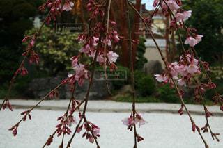 近くの木からぶら下がっている花のアップの写真・画像素材[1858497]