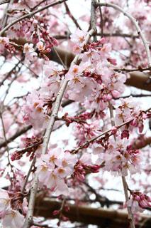 木からぶら下がって花の写真・画像素材[1858499]