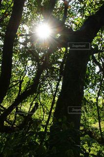 空,森林,太陽,日光,光,光芒,屋久島,鹿児島県