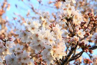 公園,花,春,桜,埼玉県,桜の花,さいたま市