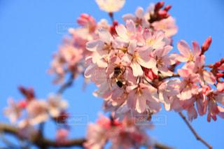 空,公園,春,桜,樹木,蜂,ハチ,埼玉県,桜の花,さいたま市