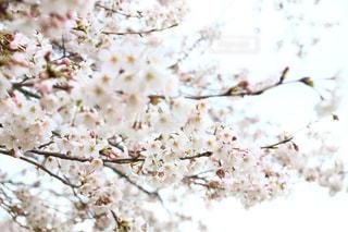 花,春,桜,満開,お花見,埼玉県,桜の花,幸手市,権現堂桜堤