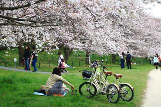 花,春,桜,自転車,満開,樹木,お花見,埼玉県,幸手市,権現堂桜堤