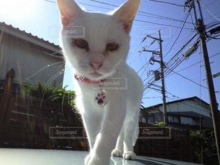 白ネコのマロさんの写真・画像素材[916581]