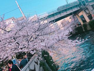 花,桜,東京,目黒川,花絶景