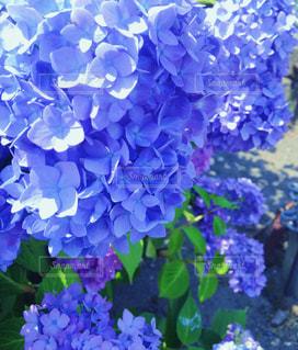 花,紫陽花,梅雨,散歩道,色鮮やか