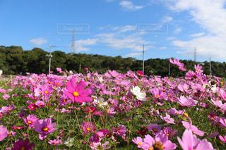 花,花畑,ピンク,コスモス