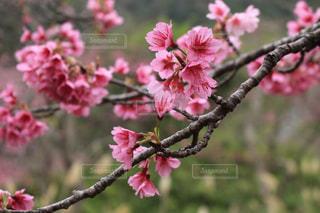 花,桜,木,ピンク,枝,さくら