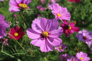 花,ピンク,コスモス,はち