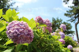 晴天,紫陽花,旅行,梅雨,福岡,国内旅行,海の中道