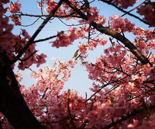 桜越しのウグイスの写真・画像素材[1123966]