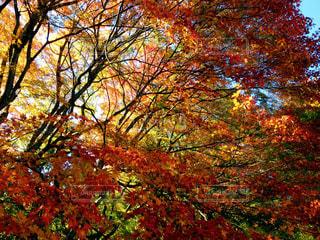 秋,紅葉,赤,葉っぱ,黄色,もみじ,季節,景色,旅行,旅,japan,山梨,四季,colorful,trip