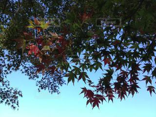 空,秋,紅葉,赤,葉っぱ,黄色,もみじ,季節,景色,旅行,旅,japan,山梨,blue,四季,colorful,trip