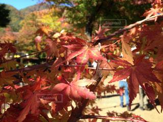 秋,紅葉,赤,葉っぱ,黄色,観光地,もみじ,季節,景色,観光,旅行,旅,japan,山梨,blue,色,四季,trip