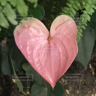 花,ピンク,植物,葉っぱ,ハート,旅行,ハワイ,Hawaii,heart,草木,trip,マーク