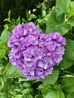 花,雨,植物,カラフル,あじさい,葉っぱ,紫,鮮やか,ハート,紫陽花,梅雨,heart,草木,マーク,purple,アジサイ