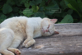 猫,動物,白,ペット,人物,木目,ネコ