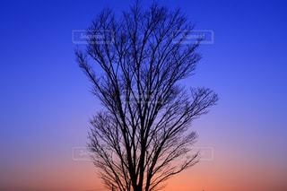 日没の前にツリーの写真・画像素材[1295422]