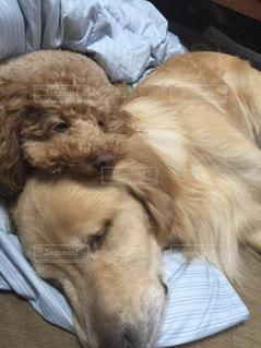 犬,トイプードル,ゴールデンレトリバー