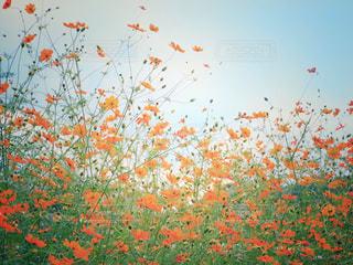 秋空とコスモスの写真・画像素材[1519481]