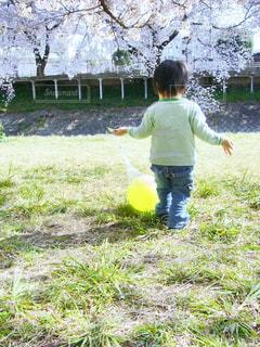 桜,後ろ姿,ボール,後姿,河川敷,男の子,2歳,芝,男児,2才