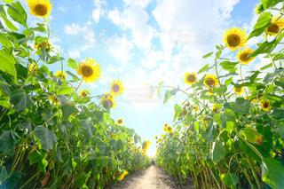 緑の葉と黄色の花の写真・画像素材[816027]