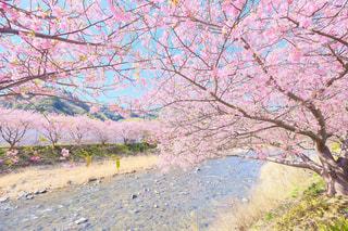 河津桜まつりの写真・画像素材[1216830]