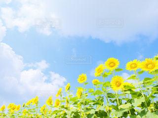小野市 ひまわりの丘公園の写真・画像素材[1216854]