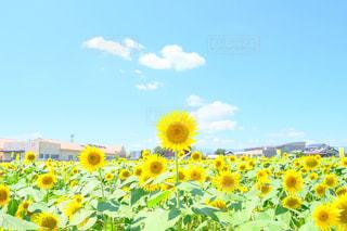 大垣ひまわり畑のひまわりの写真・画像素材[1225534]