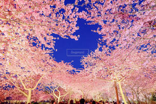ハートの桜の写真・画像素材[1867798]