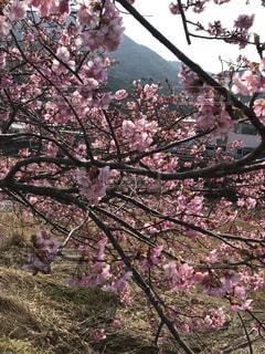 ピンクの花の木の写真・画像素材[1030152]