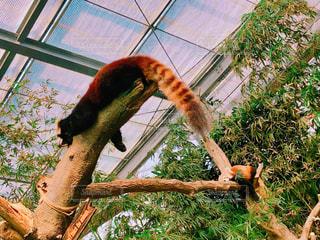 動物,動物園,休日,のんびり,おやすみ,レッサーパンダ,脱力,神戸どうぶつ王国
