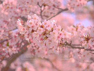 公園,桜,ピンク,可愛い,静岡県