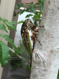 夏,虫取り,虫,昆虫,夏休み,セミ,蝉,虫捕り,飼育,クマゼミ,cicada