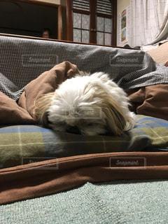 犬,シーズー,睡眠,爆睡,こたつ