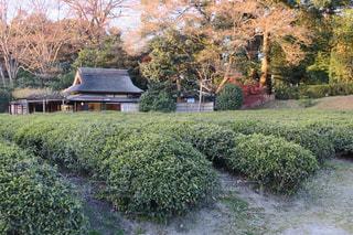 日本庭園,岡山,後楽園,緑茶,お茶畑,煎茶,日本三名園,国の特別名勝