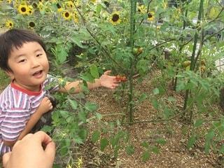 子ども,食べ物,花,ひまわり,トマト,野菜,笑顔,食品,幼児,家庭菜園,男の子,収穫,食材,フレッシュ,ベジタブル,ガーデン